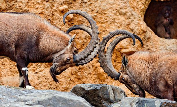 Пока бараны спорят, обезьяна что то ест