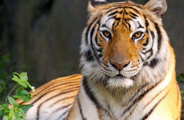быть уверенным как тигр