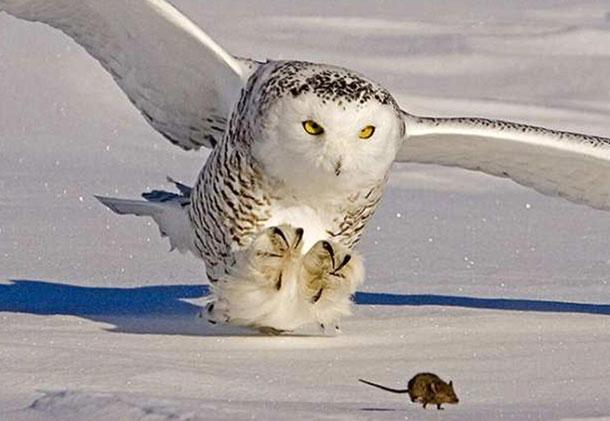 Сова на охоте очень внимательна
